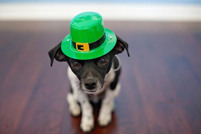 The celebration of St. Patrick's Day